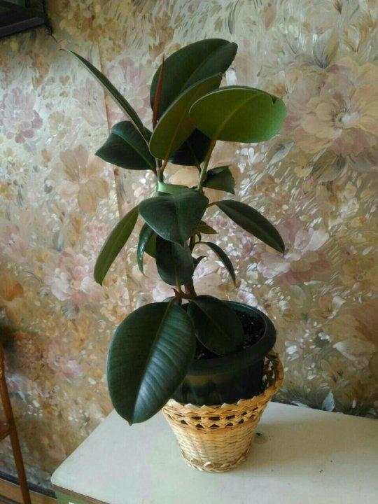 необходимые фикус мелани фото взрослого растения модой всем