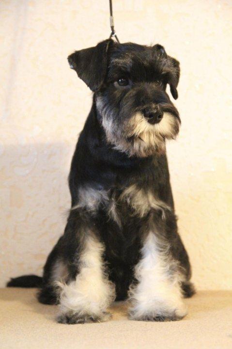 цвергшнауцер черный с серебром фото