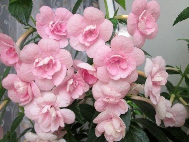 примеру, ахименесы розовые махровые фото мастера установке