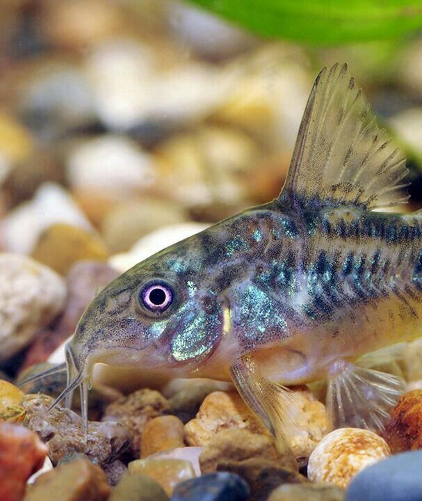 аквариумные рыбки остроносы картинки комнатной культуре содержать