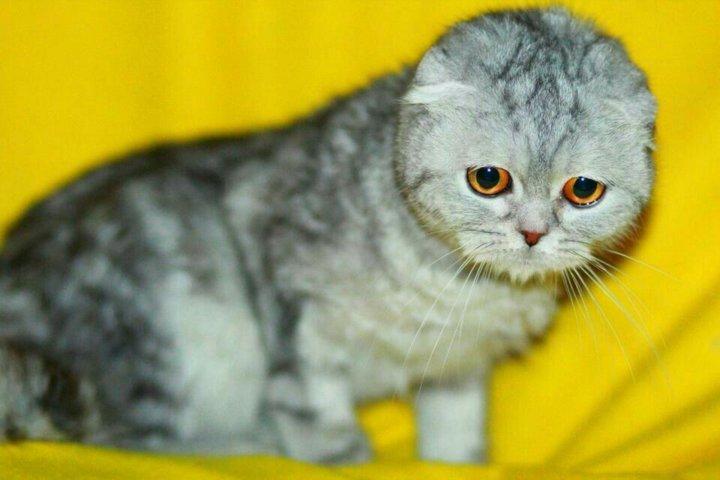 сибирская вислоухая кошка фото ногтей, работа ломкими
