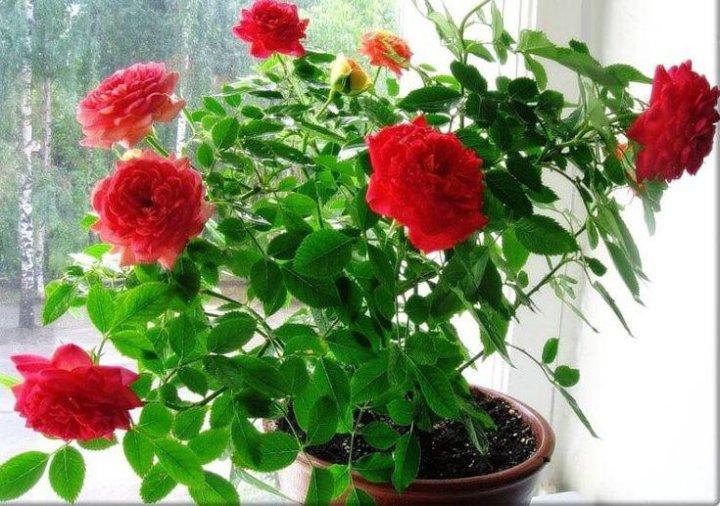 Картинки по запросу бенгальская роза