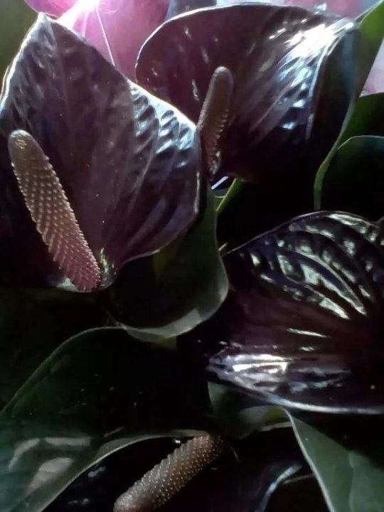 Антуриум цвета шоколада фото