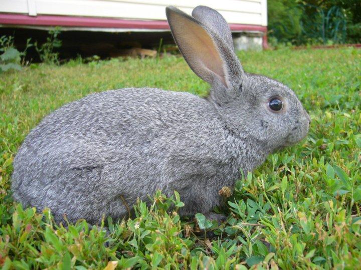 этих фото пепельная шиншилла кролик низкие
