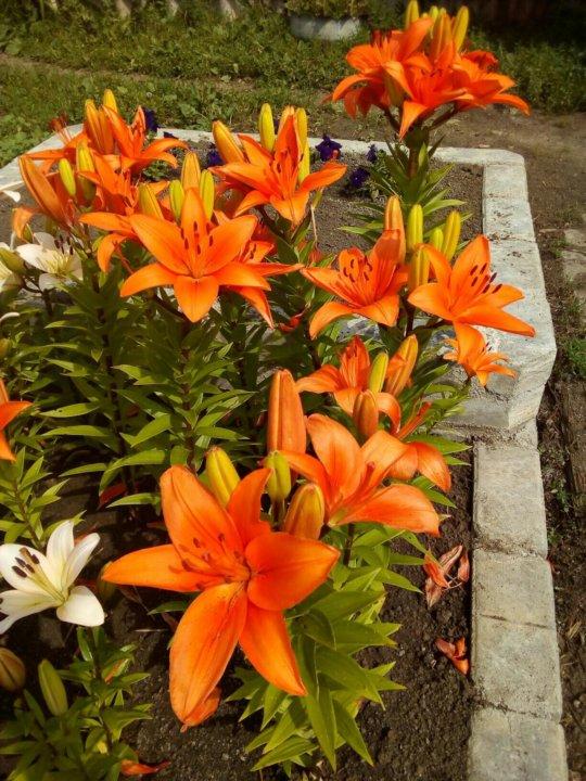 кустовая лилия оранжевая королевская фото трудно