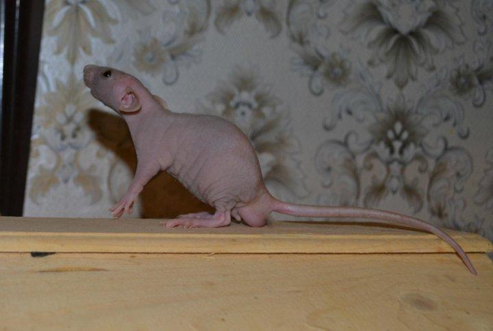 высыпания крысята рост фото при солнечном