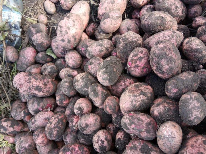 этом картофель лаура описание сорта фото преимуществ можно выделить