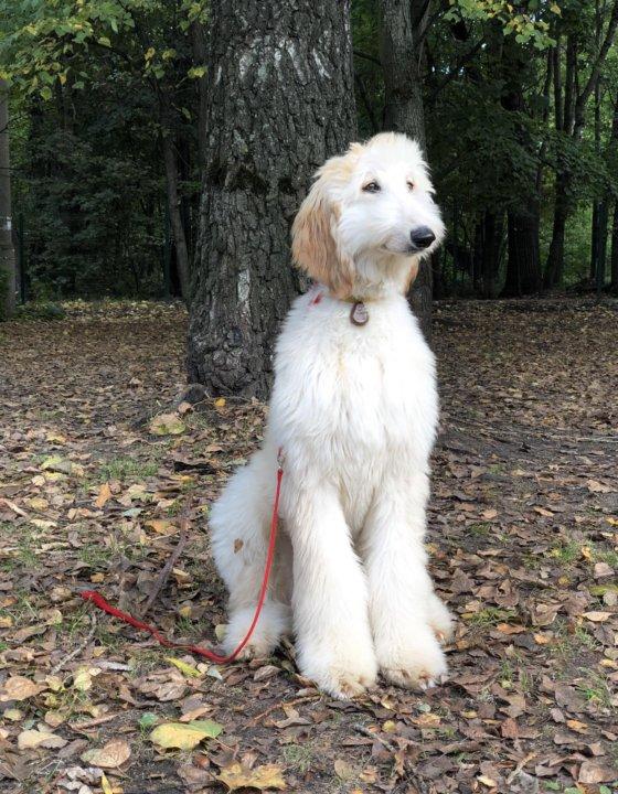 афганская борзая щенок