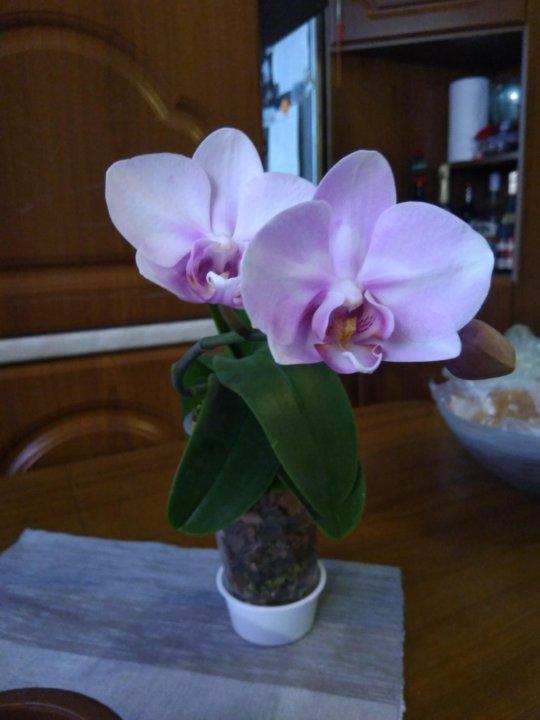 pomosh-dostavka-sakura-rastenie-kupit-spb-dlya-svadebniy-buket