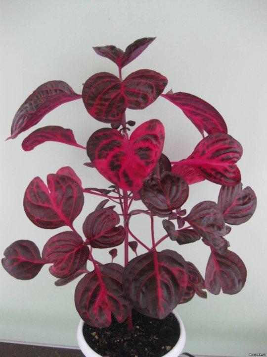Цветок ирезине: фото и уход в домашних условиях