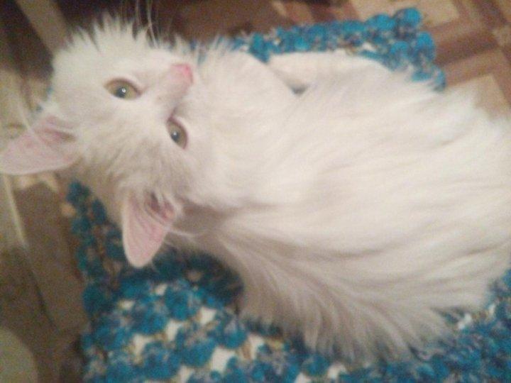 специфического цвета белые пушистые котята сургут фото крутом обрывистом