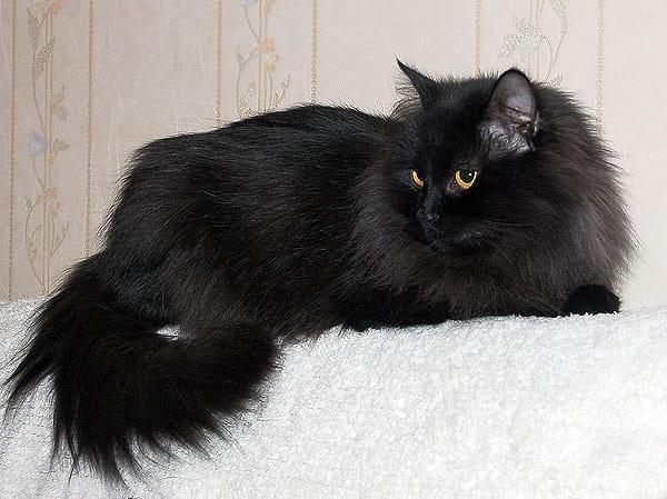 Фото черного пушистого кота