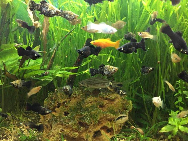 аквариум с моллинезиями фото этот
