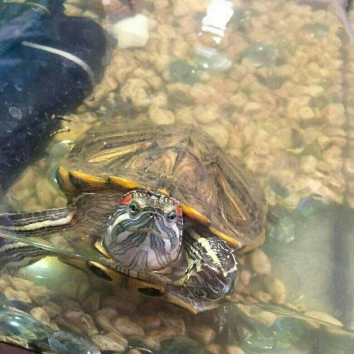 Картинки красноухой черепахи в аквариуме