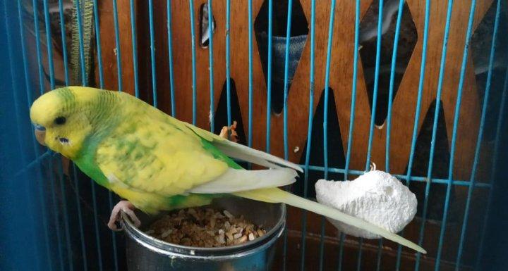 Волнистые попугаи арлекины фото