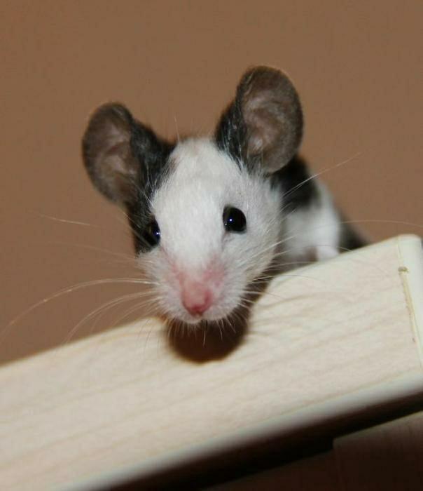 модель фото японской крысы чем начать строительство
