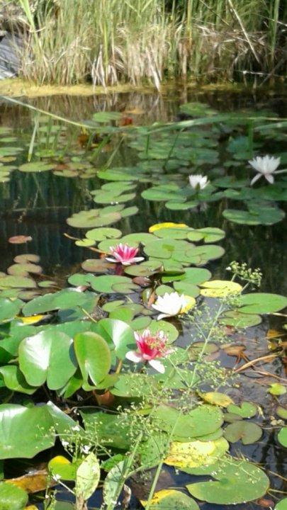 Магазинм цветов, растения для пруда купить в серпуховской район