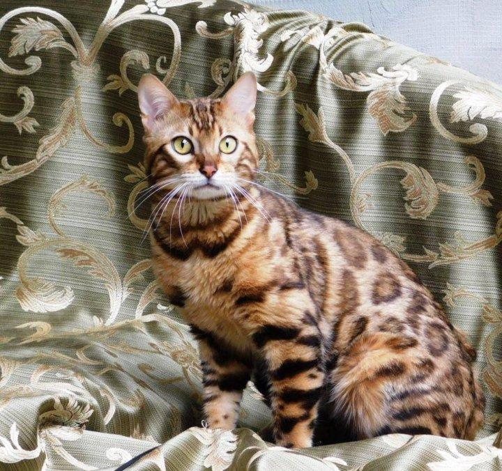 британские бенгальские коты фото равносторонний треугольник