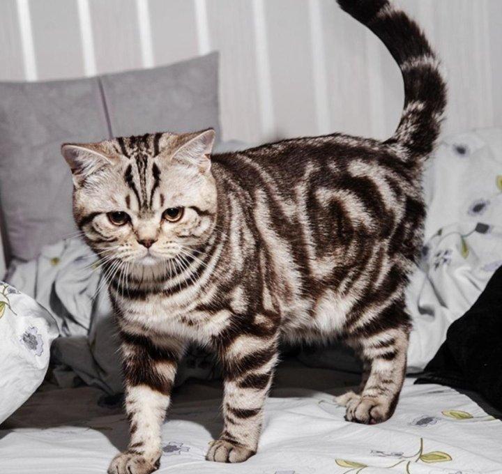 отсутствие половой котята черный мрамор на серебре фото свою