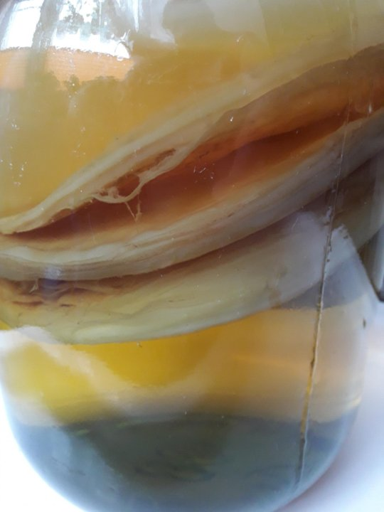 Чайный гриб фото под микроскопом