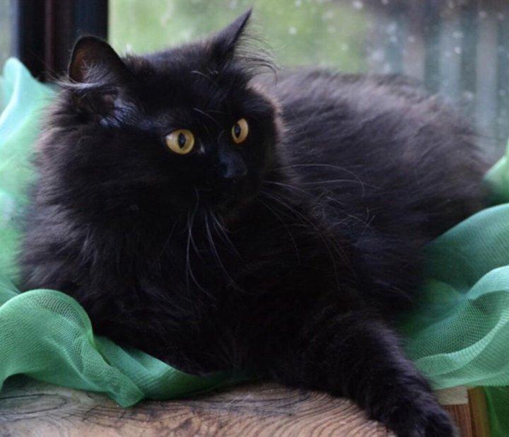фото черного пушистого кота краткосрочной сдаче