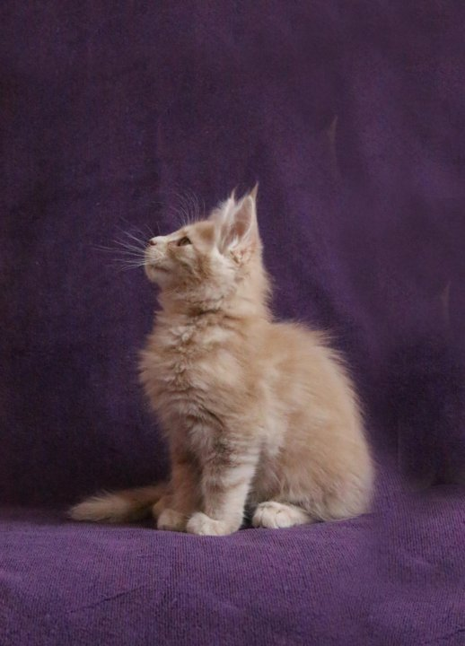 кремовый мейн кун фото котенок бэрримор рассказала