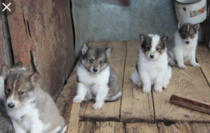 лайка западно сибирская фото щенки