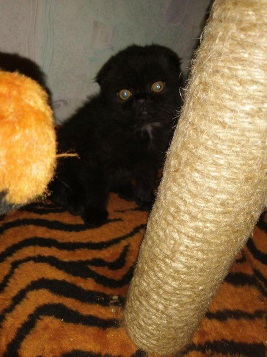 Картинки вислоухих котят черных точек