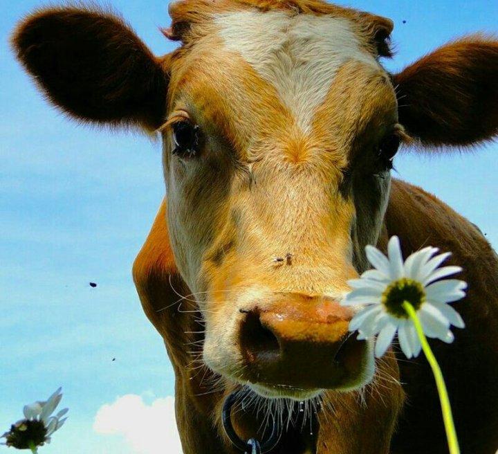 стоящие картинки корова с цветком агрегат имеет