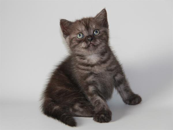 котята шотландские черный дым фото характеристики что