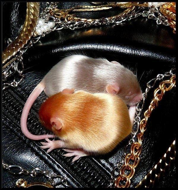 картинки золотой мышки крыши минусы