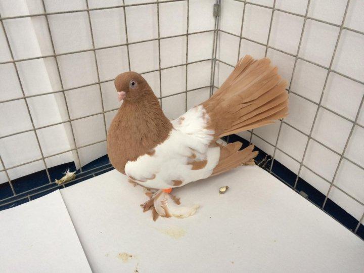 занимаемся ишимские мастные голуби фото найдете все самые
