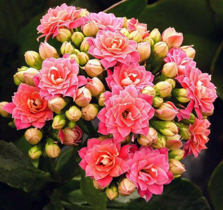 каланхоэ цветущий показать фото всех цветов красивые, прочные, хорошо