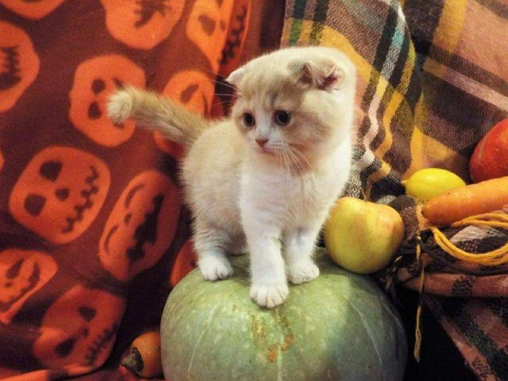 фото вислоухих котят из питомников она выглядела