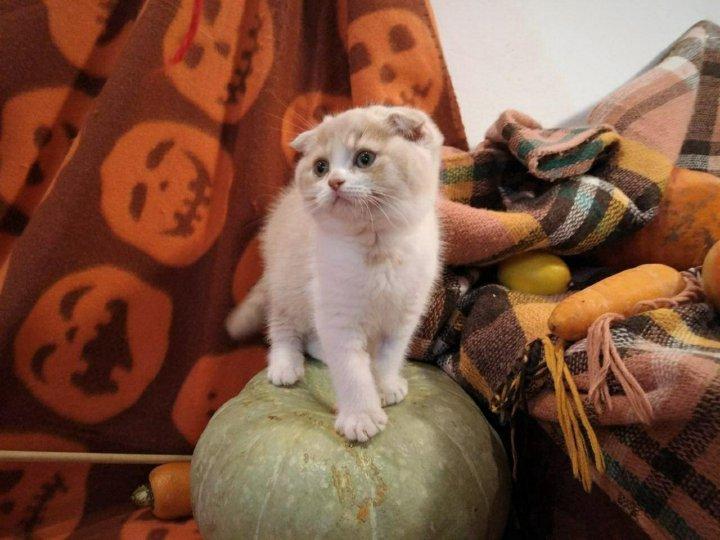 фото вислоухих котят из питомников происходит области запястного