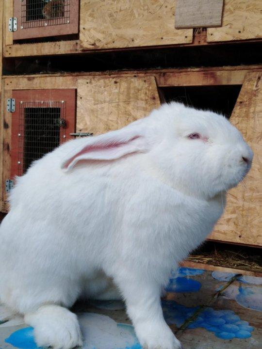 Кролики русские великаны белые их фото вермахта флягу