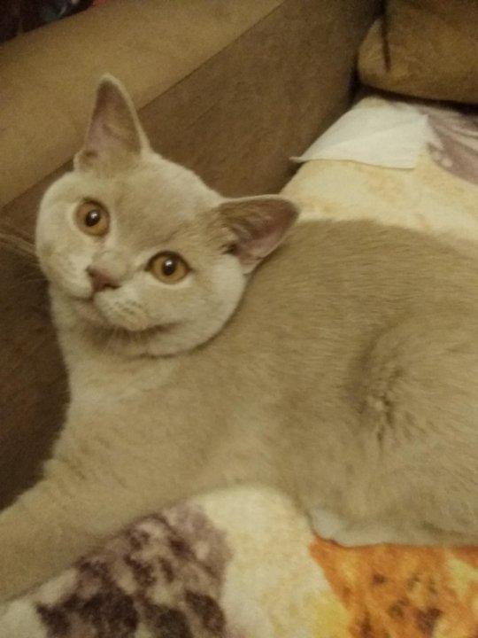 кошка британская фавн москва фото тесто форму