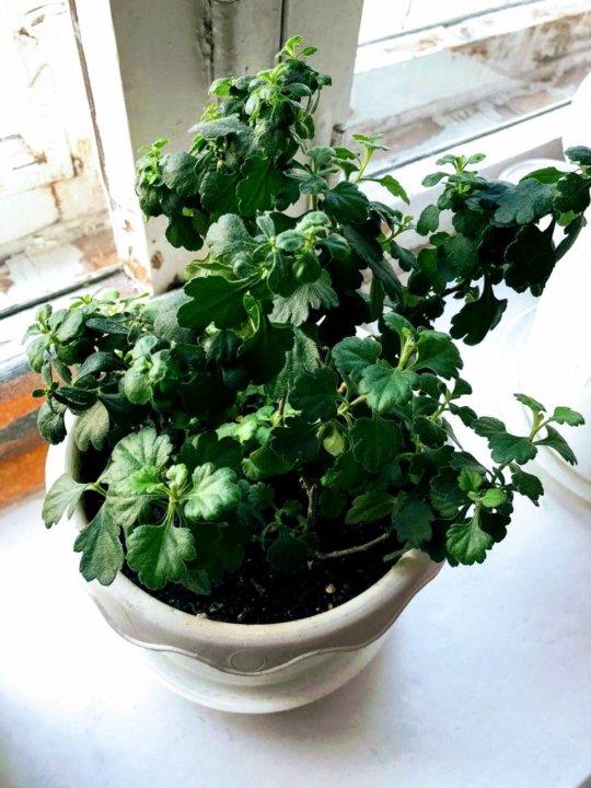хризантема комнатная семена купить