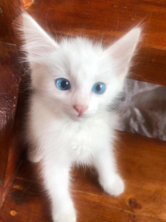 муку немного белые пушистые котята сургут фото земля располагается южной