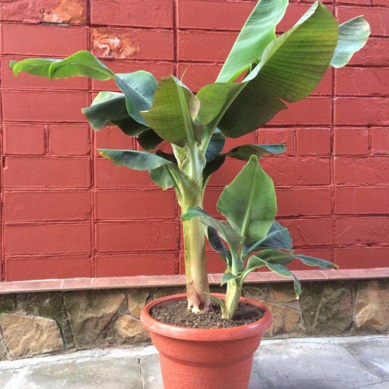 банановое дерево фото комнатное купить