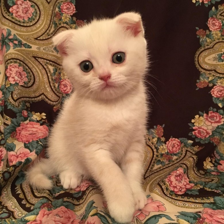 правило, это вислоухие котята редкие окрасы фото ним комплиментарно подойдут