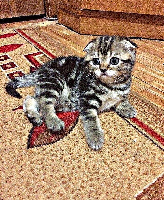 Шотландский вислоухий котенок фото мраморный