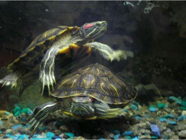Считается, что черепаха – это символ медлительности и нерасторопности, однако сонник трактует этот сон по – разному.