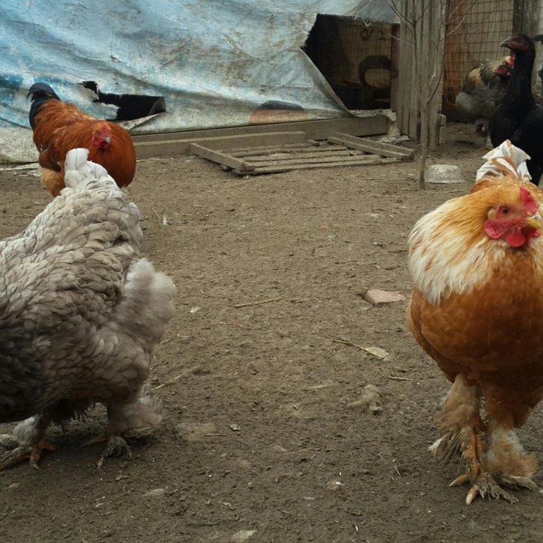 Курицы Петухи Сайт Знакомств
