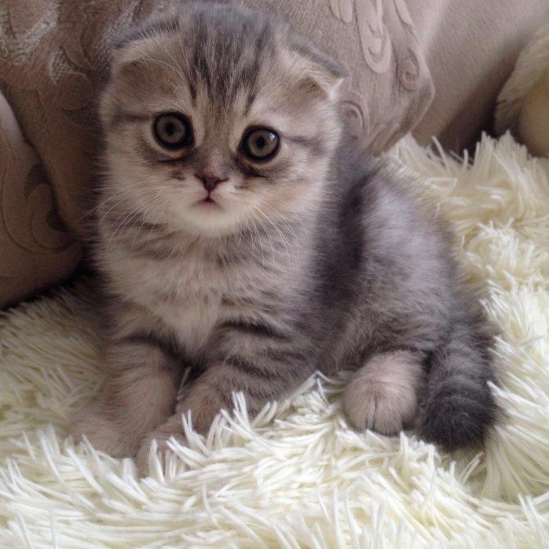 полосы картинки вислоухих котят смотреть фотография