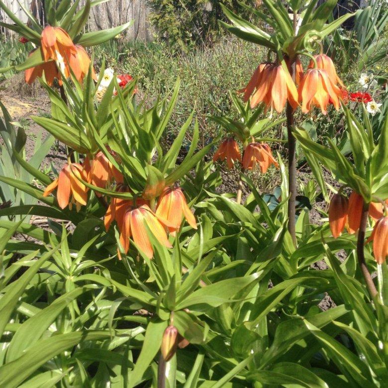 Цветы рябчики купить в астане, лилии заказ букетов