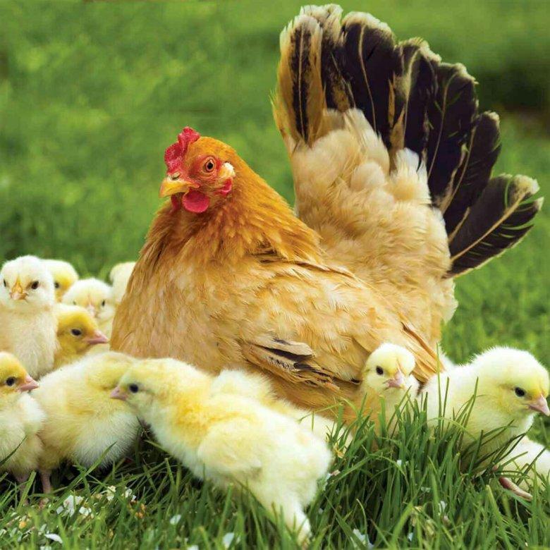 Компьютер картинки, картинка курица с цыплятами