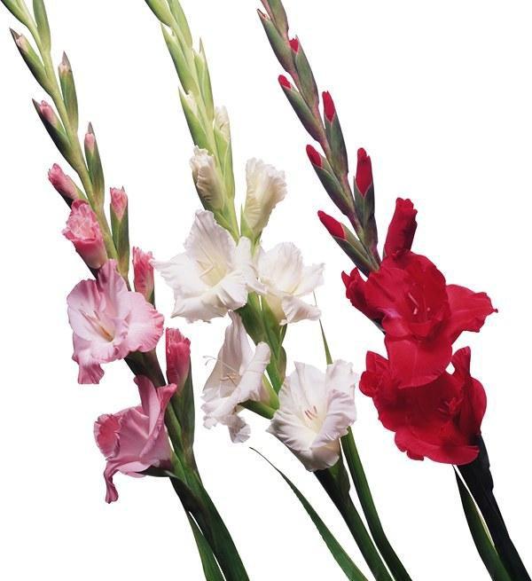 Букетов, купить цветы гладиолусы с доставкой