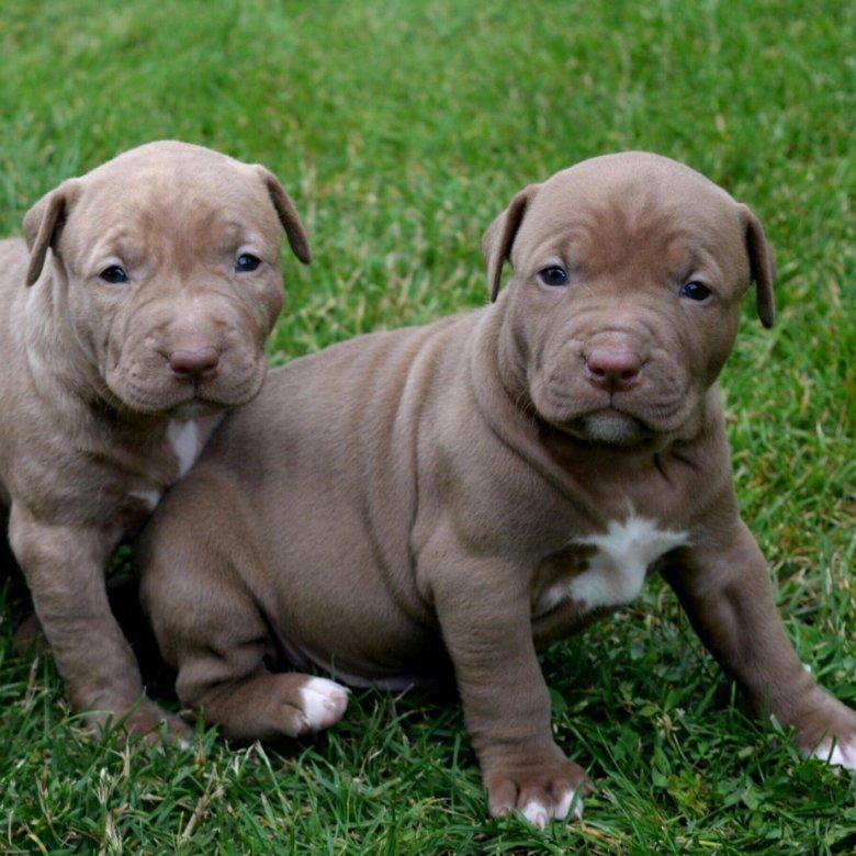 сколько стоит питбуль щенок в россии фото правила