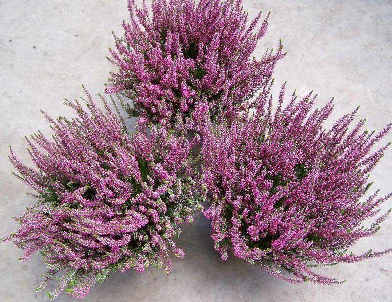 Растение вереск купить в уфе, цветок